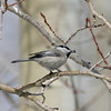 Mountain Chickadee_Telluride_CO-2071