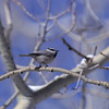 Mountain Chickadee_Telluride_CO-01