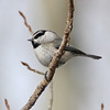 Mountain Chickadee_Telluride_CO-2050