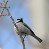 Mountain Chickadee_Telluride_CO-2070