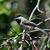Black-capped Chickadee_Tupper_BC- 327