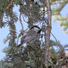Mountain Chickadee_PineMtn- VenCo_CA_002918