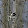 Black-capped Chickadee_Tell_CO- 2194