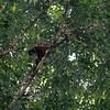 Spider-Monkey_Corcovado_Osa-Peninsula_CostaRica_-6386
