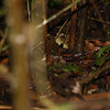 Black-faced-Antthrush_Corcovado_CostaRica-1244