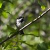 Black-capped Chickadee_Swan-Lake-BC-Canada-4750