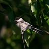 Black-capped Chickadee_Swan Lk_BC -141