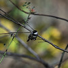 Carolina Chickadee 4- Harpers Ferry_WV