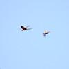 Scarlet-Macaw_Corcovado_CostaRica-1261